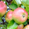 The magic of finding the origin of apples in the wilds of Kazakhstan is, in part, reflected in the search for the original Bramley apple tree. Enjoy!