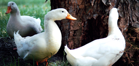 Foie Gras Wars: The Science of Overeating