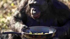 Meet Kanzi, a bonobo chimpanzee — and chef (of sorts)… Earlier this […]